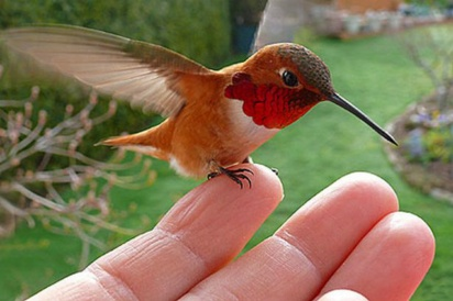 A tiny red-breasted hummingbird often sits on Janine Linnings finger after flying to her home for a feed Source Mirror UK