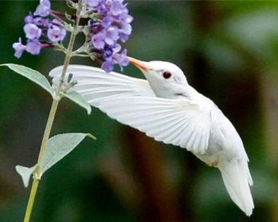 birds - albino hummingbird