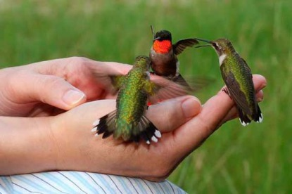 humming birds lighting on a hand
