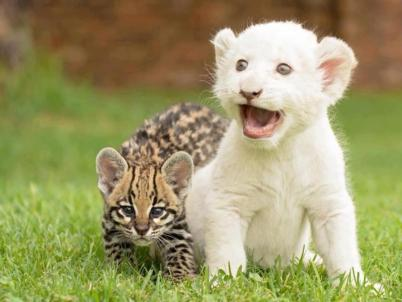 baby lion and cheetah