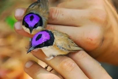 Purple Crowned Fairy Wrens