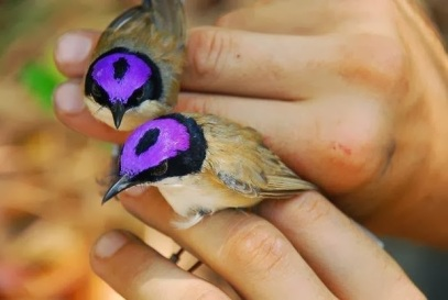 Purple Crowned Fairy Wrens
