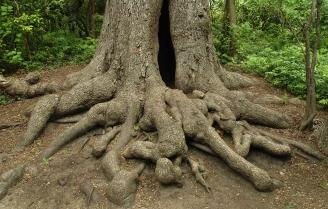 roots oak tree