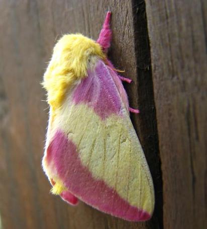 Rose maple fuzzy moth pretty