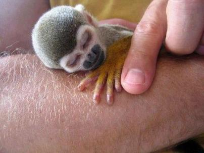 The Tiny Squirrel Monkey - South America