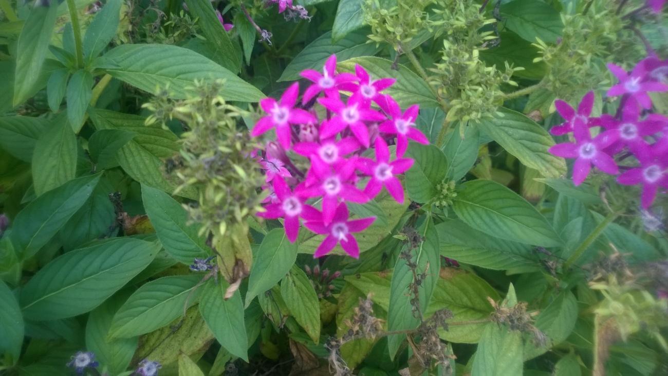 tiny pink buds