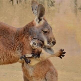 a-mothers-love-kangaroo-mama