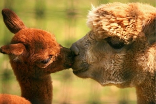 alpaca-kiss