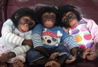 baby-chimps