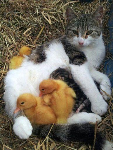 cat-and-ducks