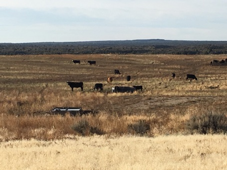 cattle-grazing-idaho