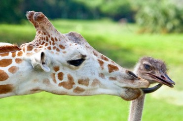 giraffe-and-bird