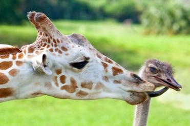 giraffe-and-bird