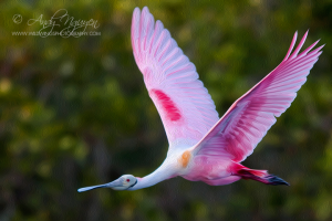 a-beautiful-spoonbill-flying-photo-credit-andy-nguyen-wild-wings
