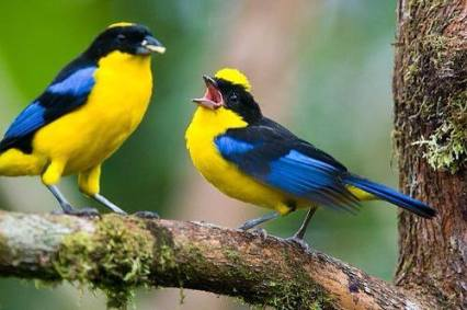 blue-winged-mountain-tanagers