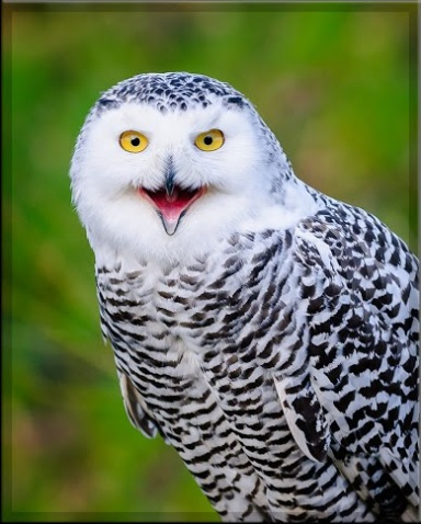 this-sweet-smiling-snowy-owl-pic-was-snapped-by-henk-boekholt-in-the-owls-garden-in-meeden-netherlands