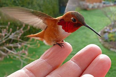 A tiny red-breasted hummingbird often sits on Janine Linnings finger after flying to her home for a feed
