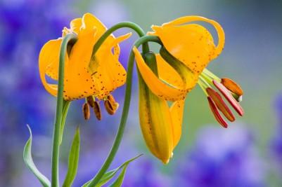 Columbia Lily with Lupine, Hurricane Ridge, Olympic Peninsula, WA